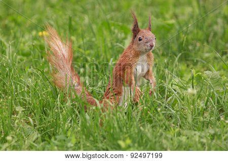 Squirrel In Green Grass