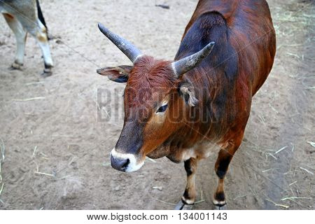 Headshot of red zebu cow (Bos primigenius indicus)