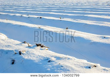 Large Dutch field of asparagus beds covered with a thick blanket of snow on a sunny day in the winter season.