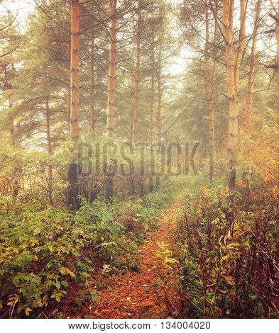 Forest autumn landscape - row of spruce trees with autumn fallen leaves in the forest in dense fog picturesque landscape early autumn view vintage filter applied