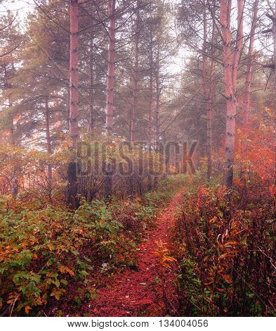 Forest autumn landscape - row of spruce trees with autumn fallen leaves in the forest in dense fog picturesque landscape early autumn view creative filter applied