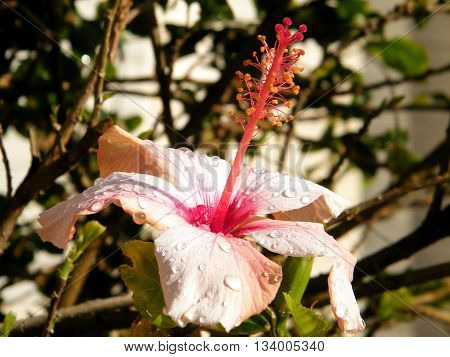 Hibiscus isolated after the rain in Or Yehuda Israel
