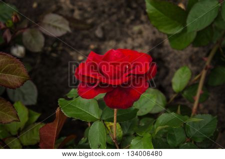 winding garden rose with red velvet flower and green leaves