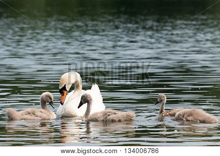 White Swan Family With Chicks.