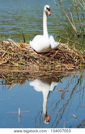 White Swan On Its Nest.