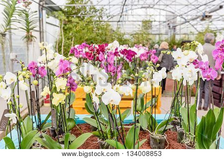 Beautiful Colorful Mix Of Phalaenopsis Orchids