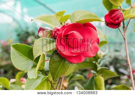 Beautiful Red Camellia Flowers Inside A Greenhouse