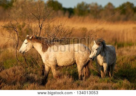 Two young horses photographed free in the Camargue pastures at dawn
