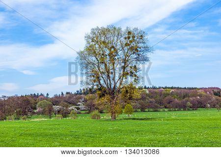 mistletoe tree in green landscape under blue sky