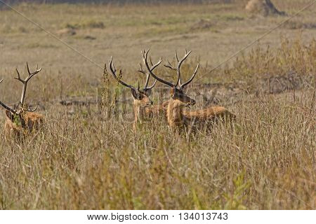 Spotted Deer Looking for Tigers in Kanha National Park in India