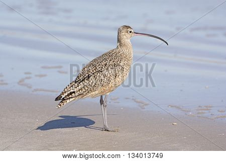 Long-billed Curlew on the Shore in the Padre Island National Seashore on the Gulf Coast of Texas