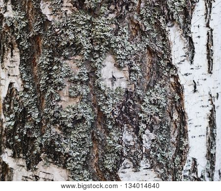 Texture of old birch trees bark covered with  lichen