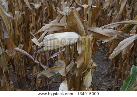 Ears of corn on a corn plant in a cornfield, prior to harvest during October, in Plainfield, Illinois.