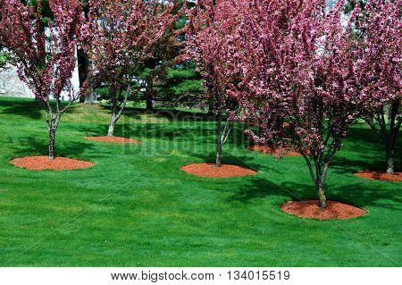 cherry flower trees blooming on green lawn, outdoor landscaping