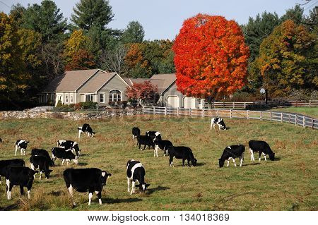 cows wandering in the autumn farm with farm house and red tree