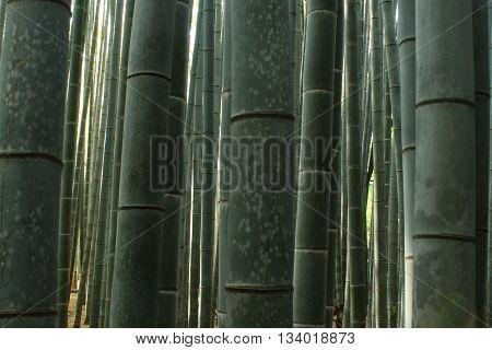 Bamboo shoots in Arashiyama forest outside Kyoto