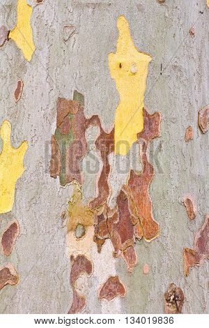 Close-up of the camouflage pattern of a plane tree