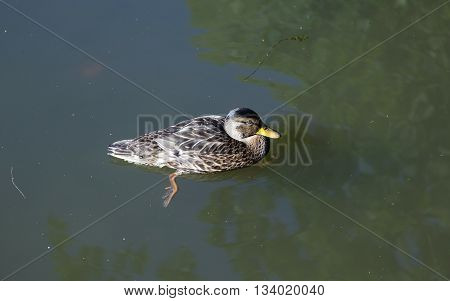 duck swims in summer in  the lake
