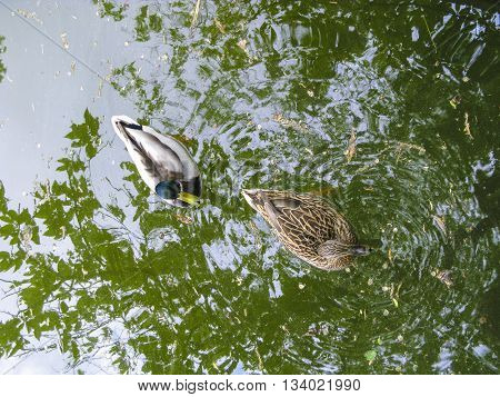 duck swims in the lake with reflection of trees in water