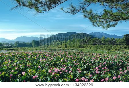 beautiful scenery, the lakes, bloom season, called HOA SEN, Vietnam to the countryside, in the summer