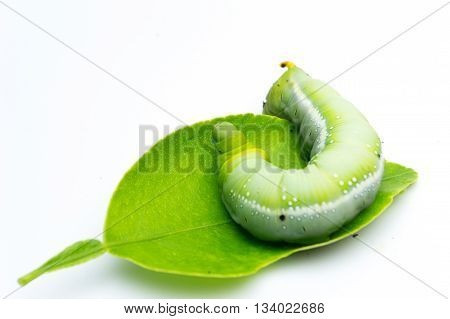 Green Caterpillars Or Green Worm Isolated On White Background