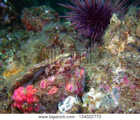 Island Kelpfish pair (Alloclinus holderi) in a scallop shell surrounded by club-tipped anemones and a purple sea urchin.  They were found of of central California's Channel Islands.
