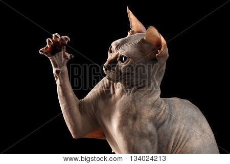 Closeup Playful Sphynx Cat Hunting Raising paw Isolated on Black Background