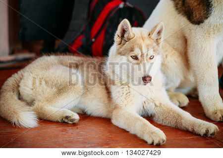 Young White And Red Husky Puppy Eskimo Dog Sitting On Floor