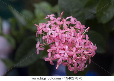 beautiful natural background pink ixora flowers background