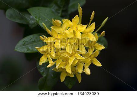 beautiful natural background yellow ixora flowers background