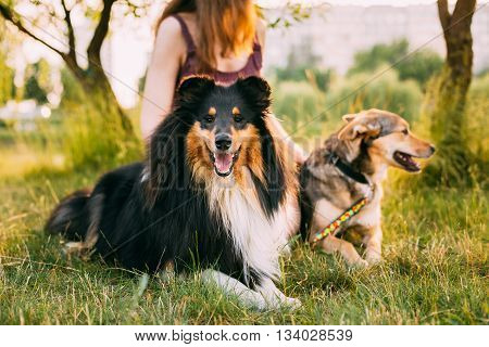 Two Dogs Sitting Next To A Woman In Grass On A Summer Evening. One Of Dogs - A Collie Or Shetland Sheepdog, Sheltie.