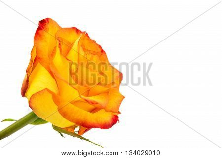 Beautiful Reddish yellow rose isolated on white