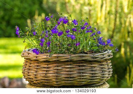 Geranium In Wicker Basket