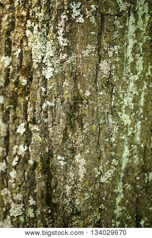 linden tree bark closeup background, shallow focus