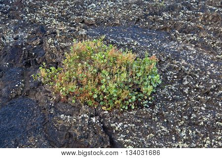 plant growing on volcanic stone in Timanfaya national park