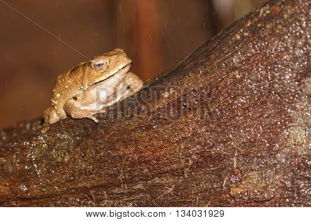 Kalophrynus pleurostigma or sticky brown frog on an old tree stump in rain with raindrop visible