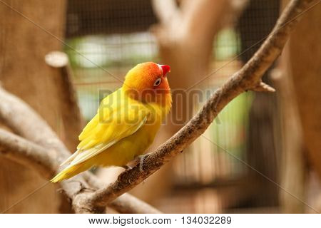 Yellow lovebird (small parrot) on the branch with her head tilt looking at something higher than her.