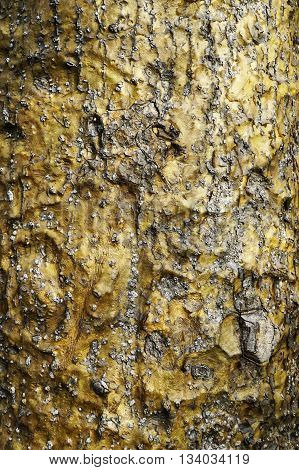 unusual gold bark on an Australian native tree