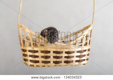 Three domestic rats in a basket close up