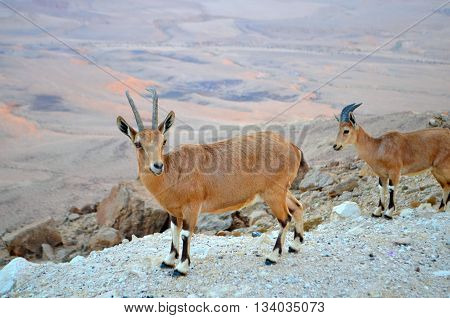 Mountain goats on the slopes of the crater Makhtesh Ramon, Israel.