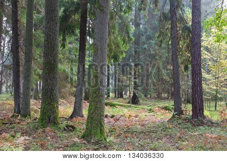 Autumnal mixed stand of Bialowieza Forest in afternoon, Bialowieza Forest, Poland ,Europe