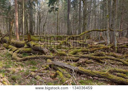 Giant oak tree moss wrapped branches lying in springtime, Bialowieza Forest, Poland, Europe