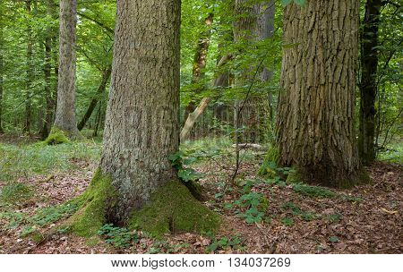 Group of old large trees oak mainly in deciduous stand,Bialowieza Forest,Poland,Europe