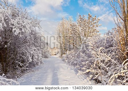 trees in winter in snow with snow covered street