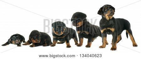 growth of puppy rottweiler in front of white background