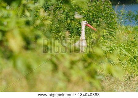 White stork on the river looking for foodpowerboat