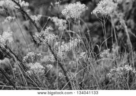 Autumn abstract background with meadow plant at sunset, vintage retro image - black and white monochrome version