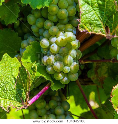 Beautiful Rapes In The Vineyard