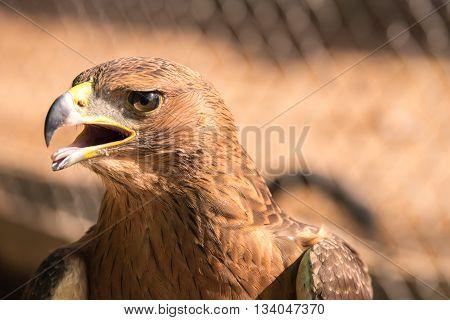Close up golden eagle, head shot portrait of animal