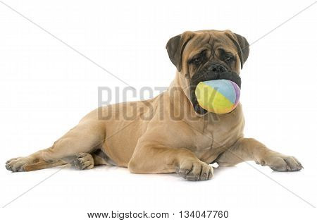 young bull mastiff in front of white background